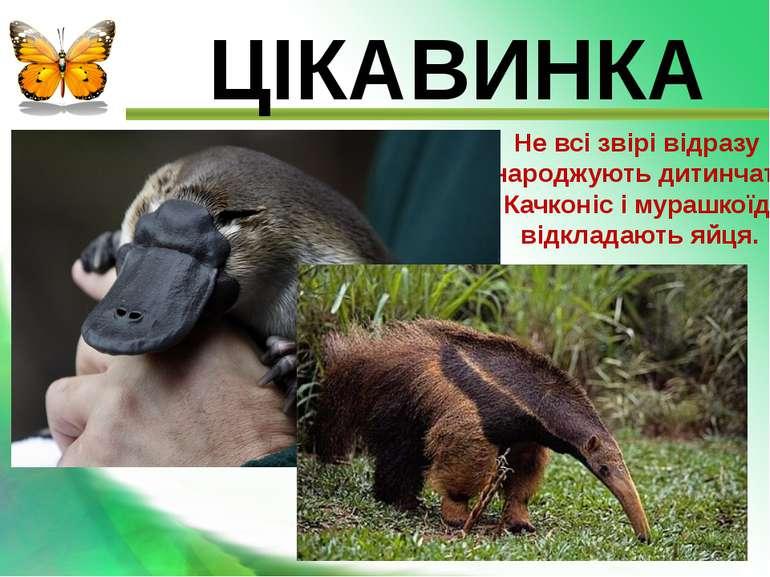 ЦІКАВИНКА Не всі звірі відразу народжують дитинчат. Качконіс і мурашкоїд відк...
