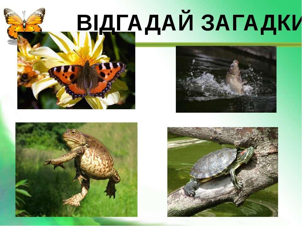 Тіло, як у черв'ячка, Вуса, наче у жучка, Крила гарні, кольорові, Наче квіточ...