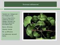 Загальні відомості Гінкгові (лат. Ginkgoaceae) - клас вищих рослин. Гінкго (G...