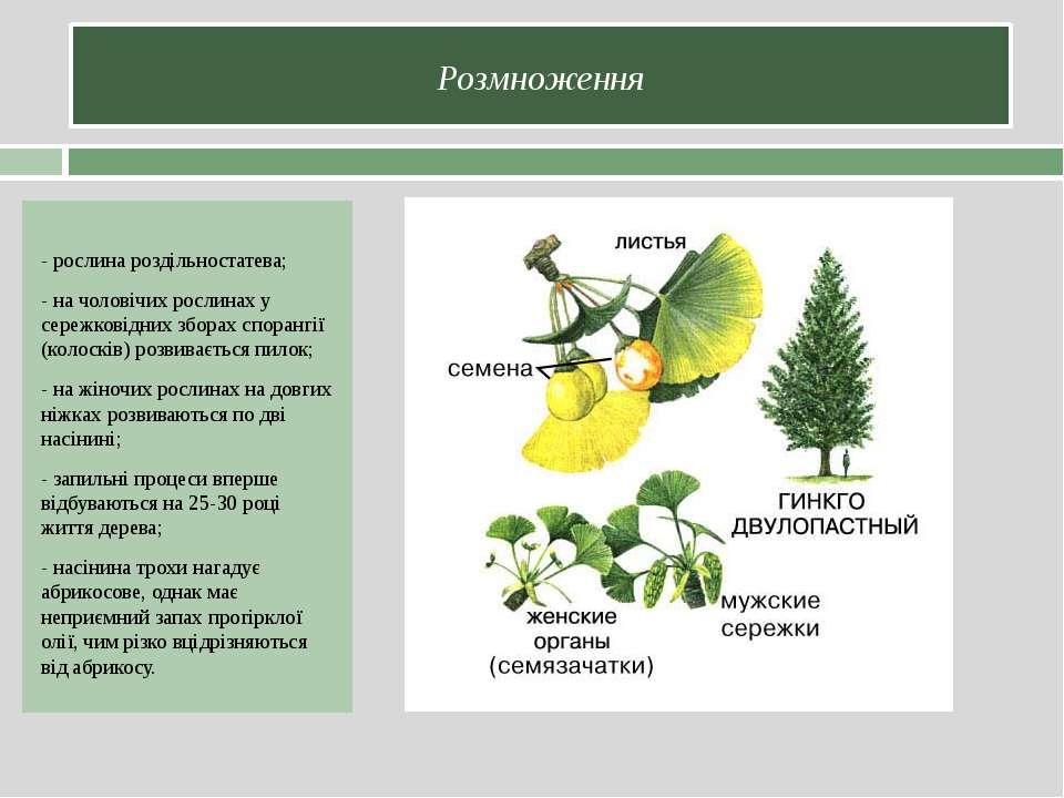 Розмноження - рослина роздільностатева; - на чоловічих рослинах у сережковідн...