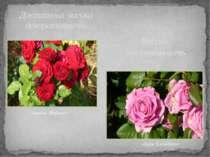 Достатньо висока декоративність «Інзель Майнау» Висока декоративність «Куїн Є...
