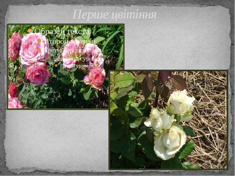 Перше цвітіння