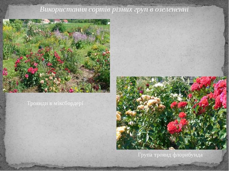 Використання сортів різних груп в озелененні Троянди в міксбордері Група троя...
