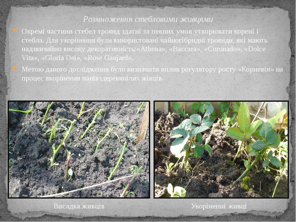 Розмноження стебловими живцями Окремі частини стебел троянд здатні за певних ...