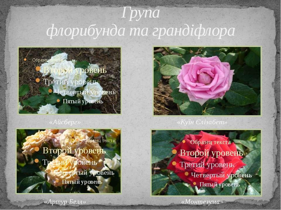 Група флорибунда та грандіфлора «Монтезума» «Куїн Єлізабет» «Артур Белл» «Айс...
