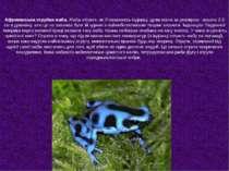 Африканська отруйна жаба. Жаба «Коко», як її називають індіанці, дуже мала за...