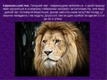 Африканський лев. Голодний лев - тварина дуже небезпечна. У дикій природі лев...