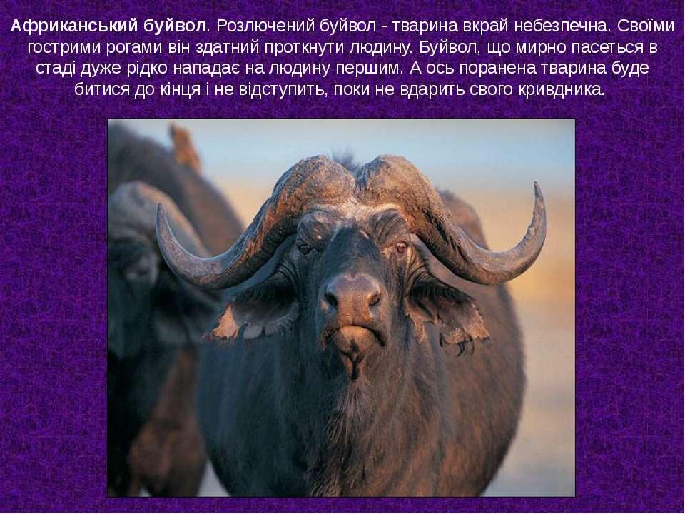 Африканський буйвол. Розлючений буйвол - тварина вкрай небезпечна. Своїми гос...