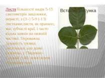 Листя більшості видів 5-15 сантиметрів завдовжки, перисті, з (3 -) 5-9 (-13) ...