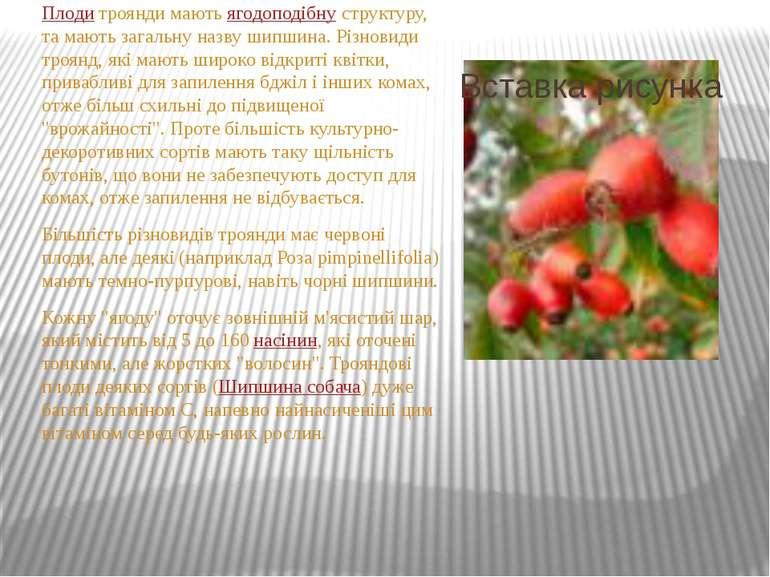 Плоди троянди мають ягодоподібну структуру, та мають загальну назву шипшина. ...