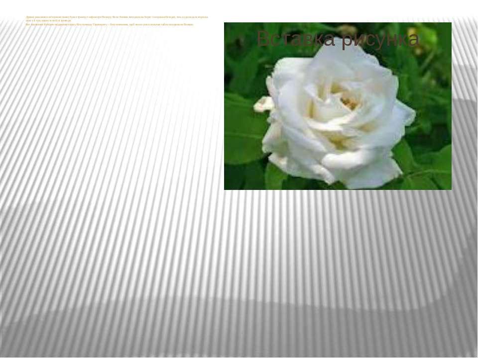 Древні римляни пов'язували появу булих троянд з міфом про Венеру. Коли богиня...