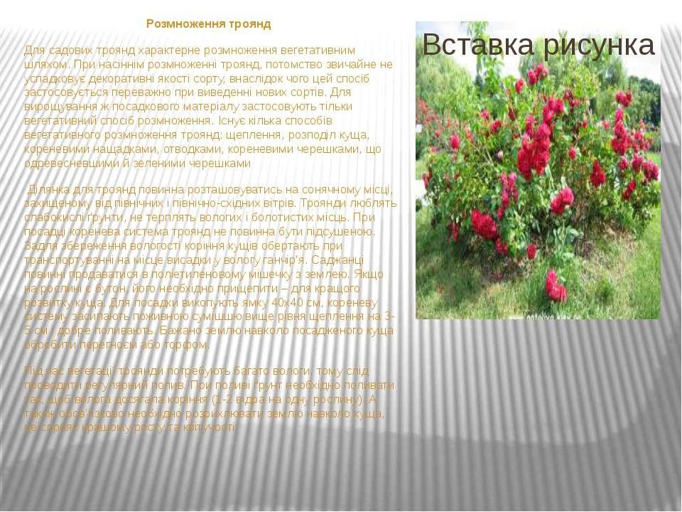 Розмноження троянд Для садових троянд характерне розмноження вегетативним шля...