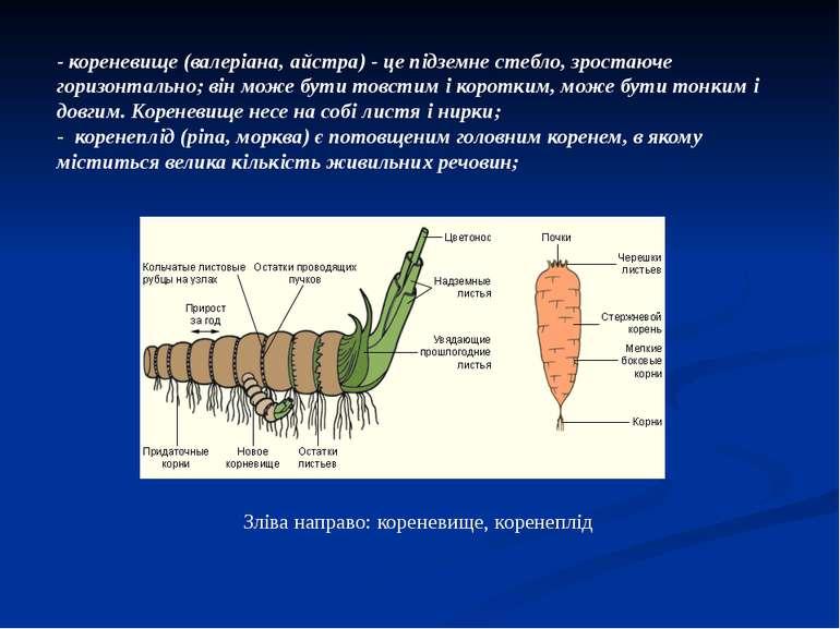 - кореневище (валеріана, айстра) - це підземне стебло, зростаюче горизонтальн...