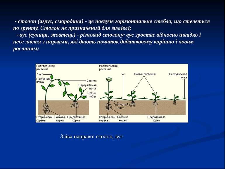 - столон (агрус, смородина) - це повзуче горизонтальне стебло, що стелеться п...