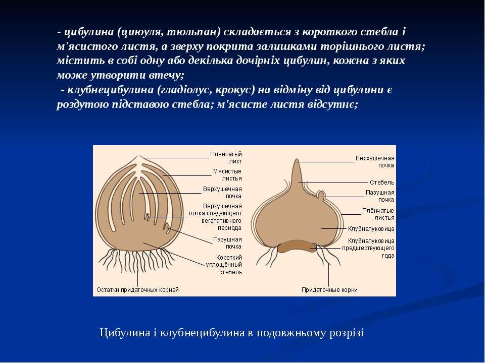 - цибулина (циюуля, тюльпан) складається з короткого стебла і м'ясистого лист...