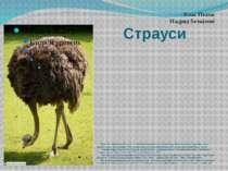 Страуси Страус, або африканський страус безкілевий нелітаючий птах, єдиний пр...