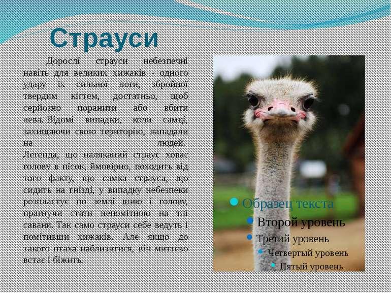 Страуси Дорослі страуси небезпечні навіть для великих хижаків - одного удару ...