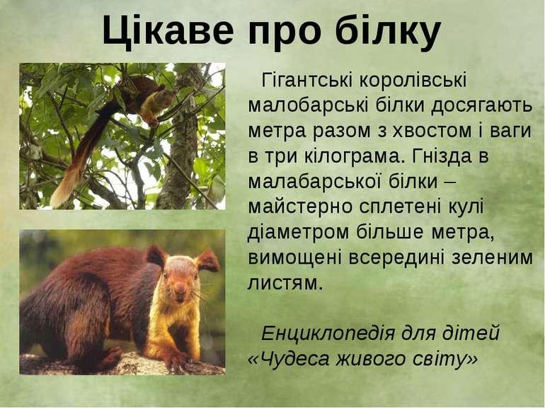Гігантські королівські малобарські білки досягають метра разом з хвостом і ва...