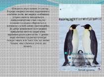 Швидкість пересування 3-6 км/год. Передні кінцівки пінгвінів видозмінені в ел...