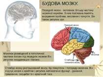 У стовбурі розташована система ядер, у яких нейрони з безліччю відростків утв...