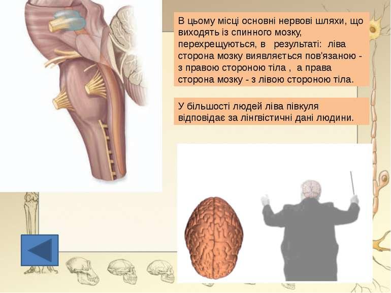 Ще недавно вважалося, що мозочок тільки цим і займається, але нові дані вказу...