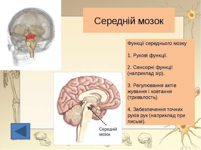 """Півкулі з'єднані між собою щільним пучком нервових волокон - т. з. """" мозолист..."""