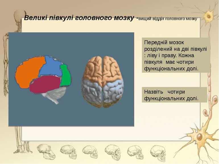 Великі півкулі головного мозку -вищий відділ головного мозкуПередній мозок ро...