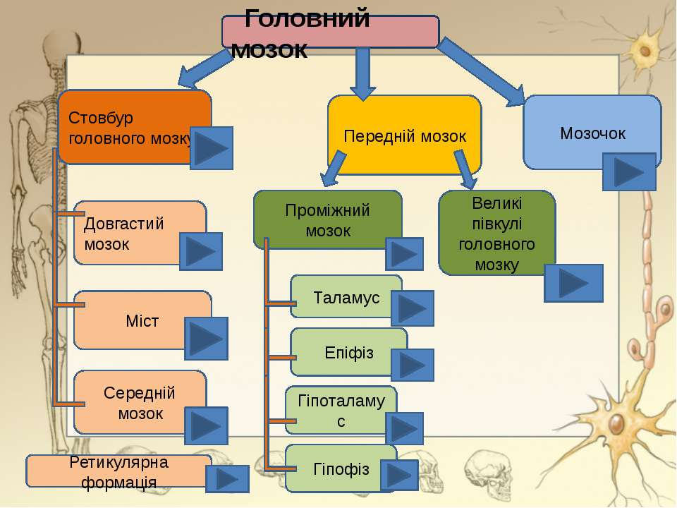 Передній мозок Мозочок Проміжний мозок Стовбур головного мозку Середній мозок...