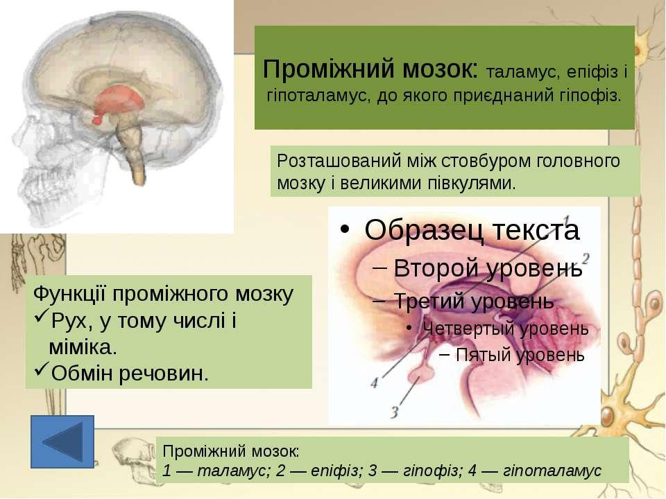 Проміжний мозок: таламус, епіфіз і гіпоталамус, до якого приєднаний гіпофіз.