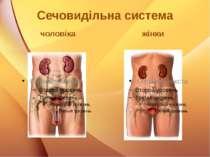 Сечовидільна система чоловіка жінки