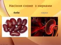 Насіння схоже з нирками боби нирки