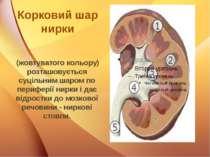 Корковий шар нирки (жовтуватого кольору) розташовується суцільним шаром по пе...