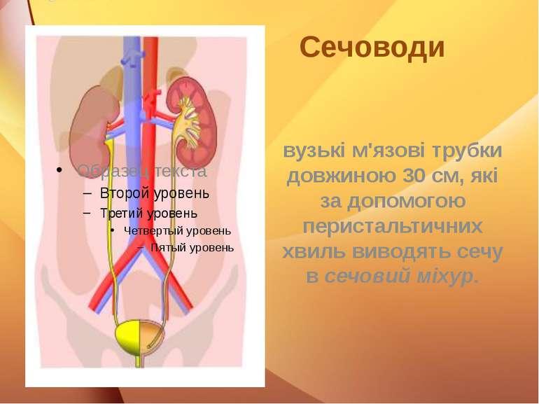 Сечоводи вузькі м'язові трубки довжиною 30 см, які за допомогою перистальтичн...