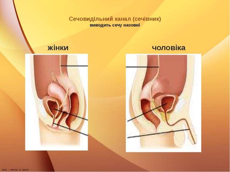Сечовидільний канал (сечівник) виводить сечу назовні жінки чоловіка