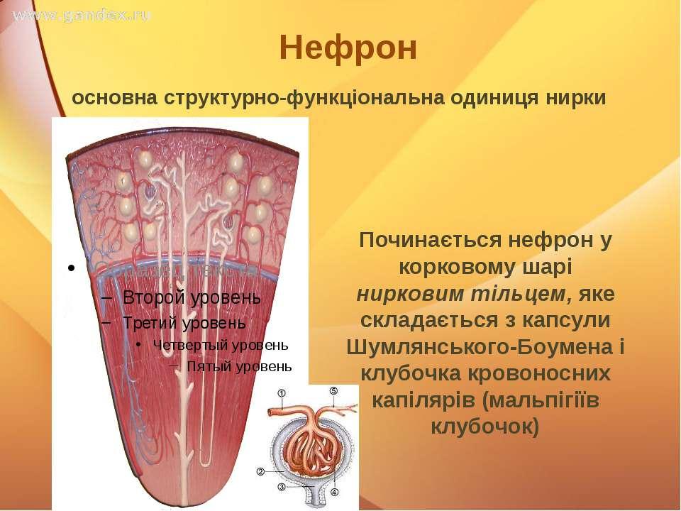 Нефрон Починається нефрон у корковому шарі нирковим тільцем, яке складається ...
