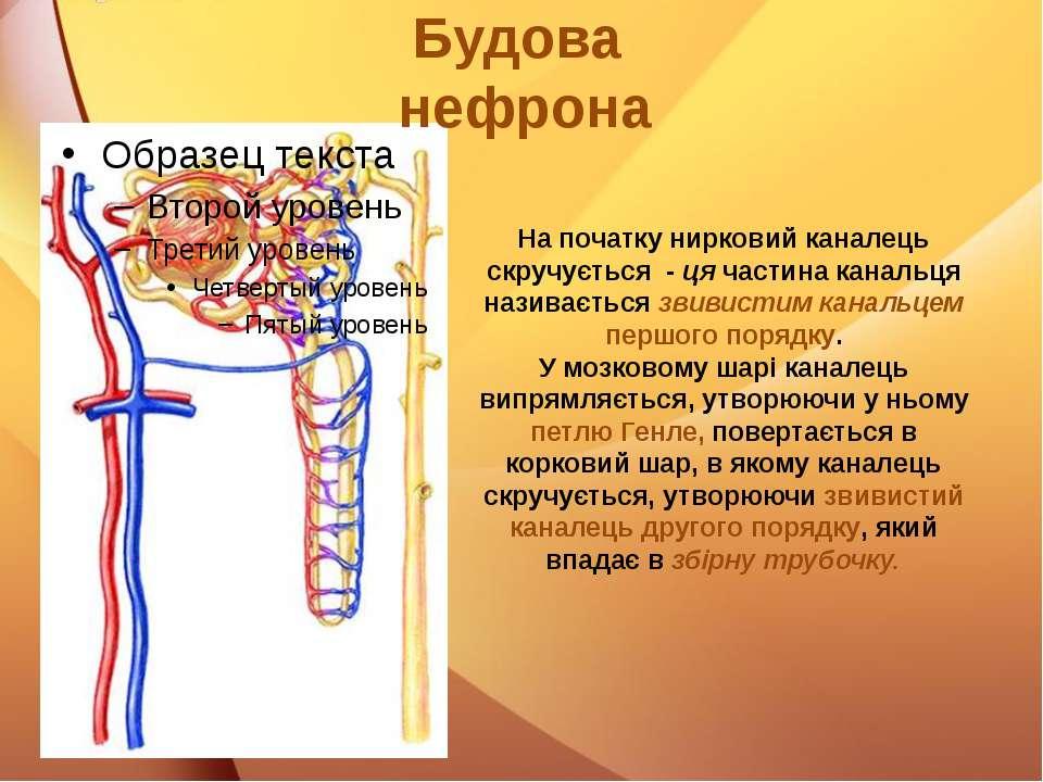 На початку нирковий каналець скручується - ця частина канальця називається зв...