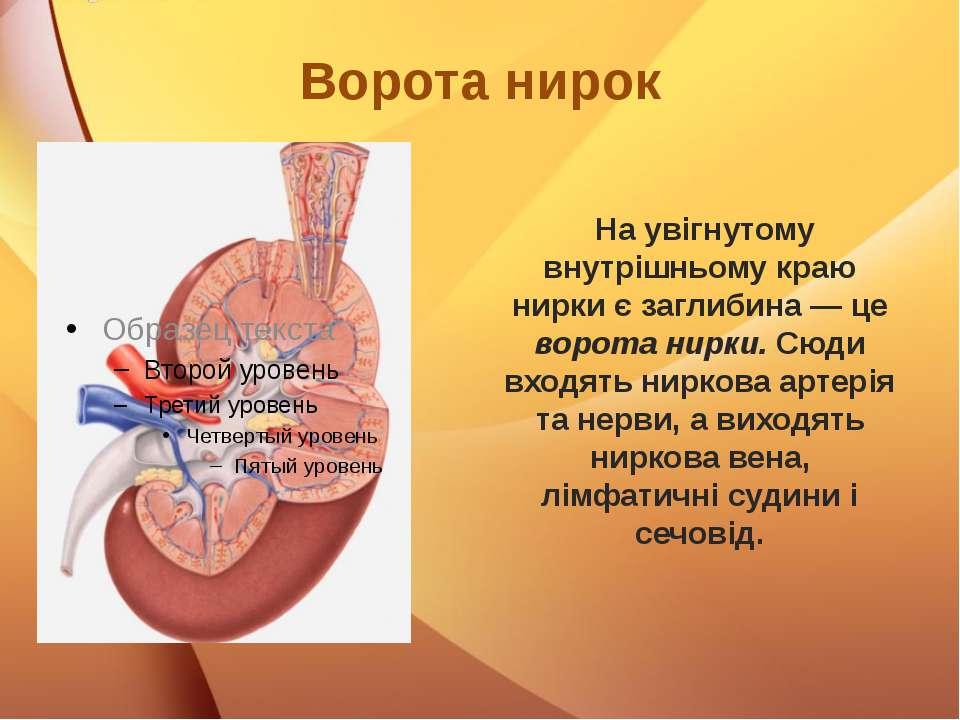 Ворота нирок На увігнутому внутрішньому краю нирки є заглибина — це ворота ни...
