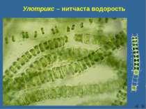 Улотрикс – нитчаста водорость Сліпчук І.Ю.