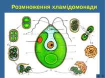 Розмноження хламідомонади