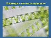 Спірогира – нитчаста водорость Сліпчук І.Ю. http://jbworld.jbs.st-louis.mo.us