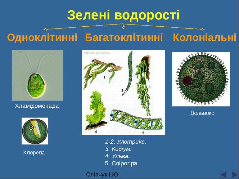 Сліпчук І.Ю. Зелені водорості Одноклітинні Багатоклітинні Колоніальні 1-2. Ул...