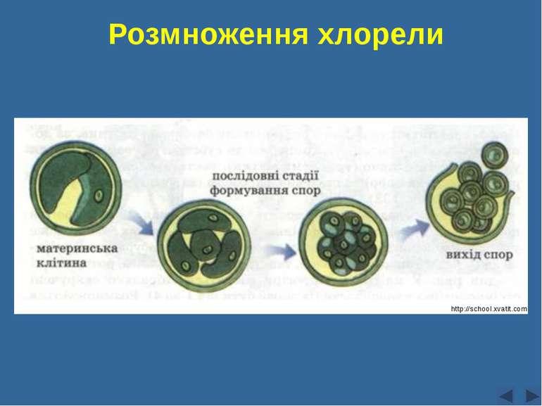Розмноження хлорели Сліпчук І.Ю. http://school.xvatit.com