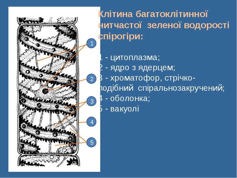 Сліпчук І.Ю. 1 2 3 4 5 Клітина багатоклітинної нитчастої зеленої водорості сп...