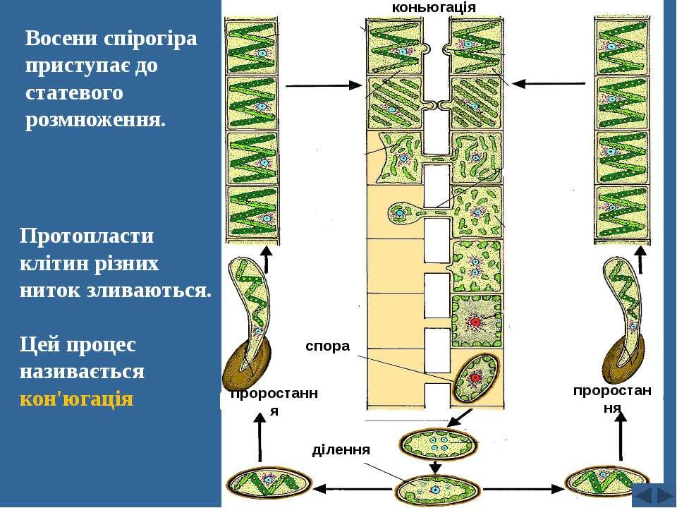 Восени спірогіра приступає до статевого розмноження. Протопласти клітин різни...