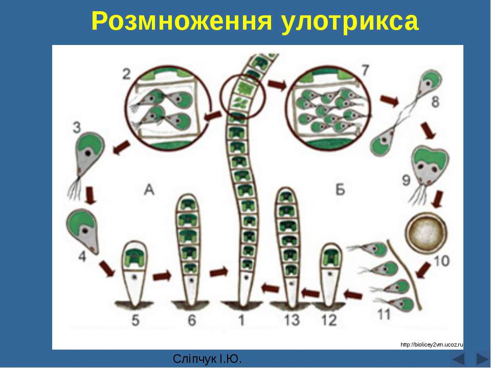 Розмноження улотрикса Сліпчук І.Ю. http://biolicey2vrn.ucoz.ru