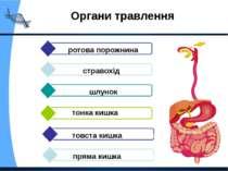Органи травлення шлунок ротова порожнина стравохід тонка кишка товста кишка п...