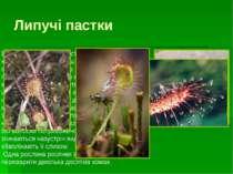 Пузырчатка Це цікава рослина віддає перевагу змуленим, багатим гумусом водойм...
