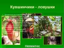 Липучі пастки Росоліст - комахоїдна рослина, що виростає в Португалії і Марок...
