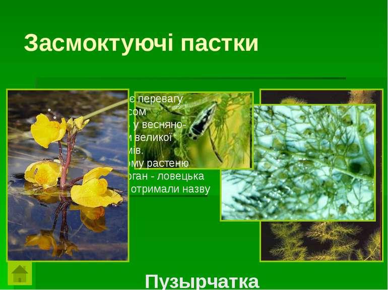 Засмоктуючі пасткиЦе цікава рослина віддає перевагу змуленим, багатим гумусом...
