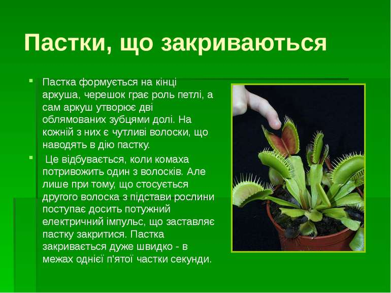 Кувшинчики - ловушки Непентес Тропическое растение-хищник непентес способно л...